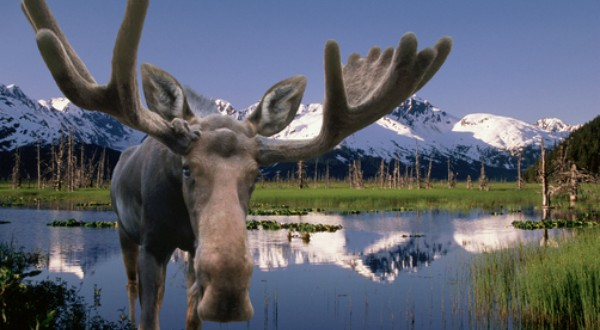 who likes moose anyway